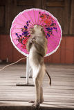 Macaques in circus fashion shows with an umbrellaThailand Phuket. Stock Image