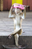 Macaques in the circus playing with a basket. Thailand Phuket. Royalty Free Stock Photos
