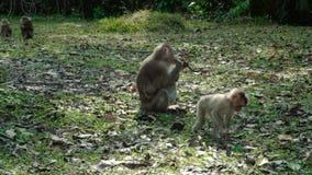 Macaques con coletas septentrionales almacen de metraje de vídeo