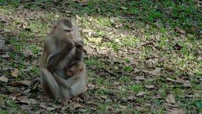 Macaques con coletas septentrionales almacen de video