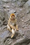 Macaque on the slope of the mountain. The macaques constitute a genus of Old World monkeys, especially Asia. All macaque social groups are arranged around Stock Photos