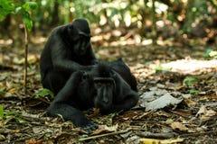 Macaques crêtés de Celebes se toilettant, comportement typique, macaque crêté noir endémique d'etology, habitat naturel seul images stock
