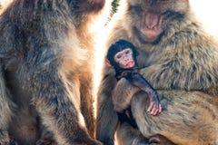 Macaques de Barbarie Image stock