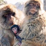 Macaques de Barbarie Photos libres de droits