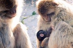 Macaques de Barbarie Photo stock