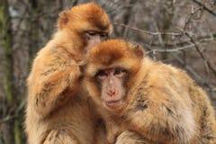 Macaques de Barbarie Image libre de droits