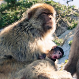 Macaques de Barbarie Images stock