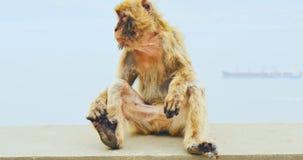 Macaques de Barbarie ayant la coupure sur le rocher de Gibraltar banque de vidéos