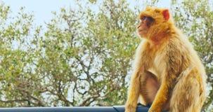 Macaques de Barbarie se reposant sur le toit de la voiture banque de vidéos