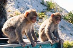 Macaques de Barbary Imagen de archivo libre de regalías