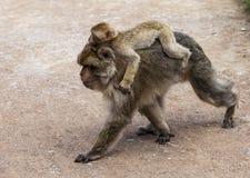 Macaques de Barbary Fotografía de archivo