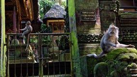 Macaques de cauda longa foto de stock