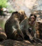 Macaques di cofano Fotografia Stock Libera da Diritti