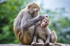 Macaques en Chine Images stock