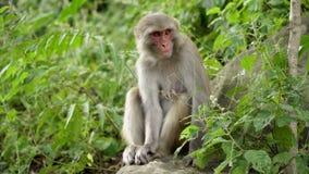 Macaques fêmeas nas selvas de Ásia filme