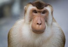 Macaques are familiar brown primates royalty free stock images
