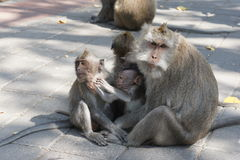 Macaques Family Stock Photo
