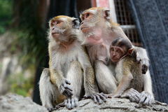 Macaques family at Batu Caves hindu temple. Gombak, Selangor. Malaysia. Batu Caves is a limestone hill that has a series of caves and cave temples in Gombak. The royalty free stock images
