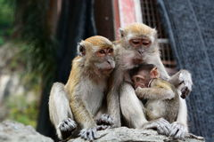 Macaques family at Batu Caves hindu temple. Gombak, Selangor. Malaysia. Batu Caves is a limestone hill that has a series of caves and cave temples in Gombak Royalty Free Stock Images