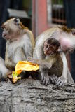 Macaques family at Batu Caves hindu temple. Gombak, Selangor. Malaysia. Batu Caves is a limestone hill that has a series of caves and cave temples in Gombak Royalty Free Stock Photography