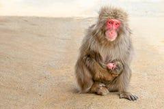 Macaques fostrar matning Royaltyfri Fotografi