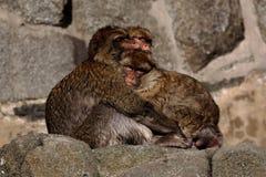 Macaques fríos de Barbary Imágenes de archivo libres de regalías