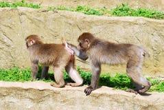 Macaques giapponesi sulla roccia Immagine Stock