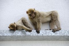 Macaques, Gibraltar, Europe. The semi-wild Barbary Macaques, Gibraltar, Europe royalty free stock photos