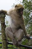 Macaques, Gibraltar, Europe. The semi-wild Barbary Macaques, Gibraltar, Europe stock image