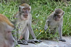 Group of macaques Royalty Free Stock Images
