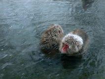 Macaques in hot spring. Japanese monkeys in natural hot spring at winter snowfall, Nagano Japan Royalty Free Stock Image