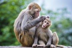 Macaques i Kina Arkivbilder