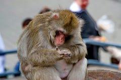 Macaques japonais C'est les espèces les plus du nord des primats, et l'île de Yakushima, avec un climat plutôt dur images stock