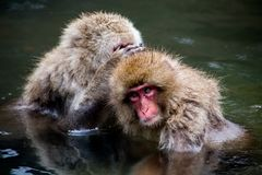 Macaques japonais se toilettant en ressort naturel Photos libres de droits