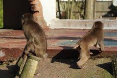 Macaques japoneses en ciudad Foto de archivo libre de regalías
