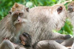 Macaques Long-tailed. Ubud Bali Photographie stock libre de droits