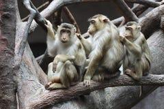 macaques Maiale-muniti Fotografia Stock