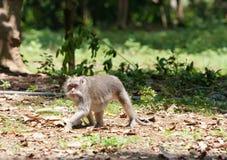 Macaques met lange staart (fascicularis Macaca) Stock Fotografie