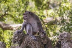 Macaques met lange staart (Macaca-fascicularis) bij Heilige Aap Voor Royalty-vrije Stock Afbeelding
