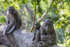Macaques met lange staart (Macaca-fascicularis) bij Heilige Aap Voor Royalty-vrije Stock Foto