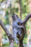 Macaques met lange staart (Macaca-fascicularis) bij Heilige Aap Voor Stock Foto