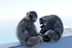Macaques monkey family Royalty Free Stock Photo