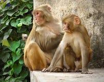 Macaques Monkeys Stock Photos