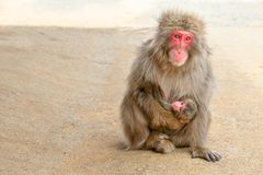 Macaques mother feeding royalty free stock photography