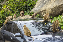 Macaques playing on a car Stock Photography