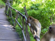 Macaques Profile. Stock Photography