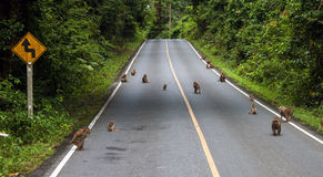 Macaques on a road Stock Photos