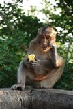 Macaques Thai monkey Stock Images