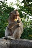 Macaques Thai monkey Stock Photography