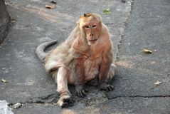 Macaques Thai monkey Royalty Free Stock Image